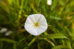 Campanule blanche de wildflower - macro photo photographie stock