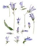 Campanule bleu-clair pressée Photographie stock