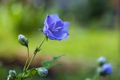 Campanule bleue Photo stock