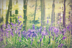 Campanule che crescono su un pavimento inglese del terreno boscoso Fotografia Stock