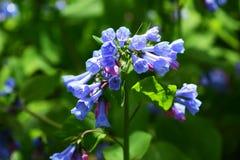 Campanule che fioriscono in primavera Fotografia Stock