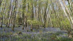 Campanule Cornovaglia della primavera Fotografie Stock
