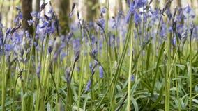 Campanule Cornovaglia della primavera Fotografie Stock Libere da Diritti