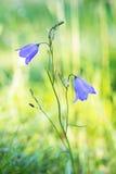 Campanule de jacinthe des bois Image libre de droits