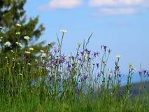 Campanule e margherite in un prato verde con cielo blu su fondo Fotografia Stock Libera da Diritti