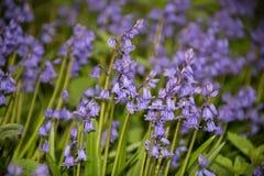 Campanule spagnole, hispanica del Hyacinthoides, in primavera Fotografia Stock Libera da Diritti