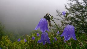 Campanules in the mountains. In a mountain misty with fog, bellflowers in the foreground are bluish and beaded with drops of water Stock Images