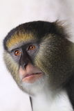 Campbell Mona małpa Obrazy Stock