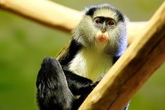 Campbell monkey Stock Image