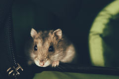 Campbell`s dwarf hamster Stock Images