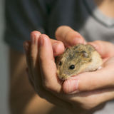 Campbell's dwarf hamster in hands. Young campbell's dwarf hamster (Phodopus campbelli) on woman hands stock images