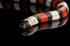 Campbell`s milk snake, Lampropeltis triangulum campbelli, isolated on black background Royalty Free Stock Photo