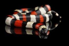 Free Campbell`s Milk Snake, Lampropeltis Triangulum Campbelli, Isolated On Black Background Royalty Free Stock Photo - 85044755
