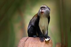 Campbell`s mona monkey or Campbell`s guenon monkey, Cercopithecus campbelli, in nature habitat. Animal forest. PRimate from Ivo. Campbell`s mona monkey or royalty free stock photo