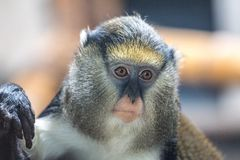 The Campbell`s mona monkey Cercopithecus campbelli. royalty free stock photo