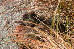 Campbell teal hiding beneath tussock Stock Photos