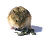 Campbell zwergartiger Hamster auf weißem Hintergrund Lizenzfreies Stockfoto