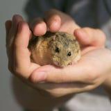Campbell zwergartiger Hamster in den Händen Lizenzfreie Stockfotos