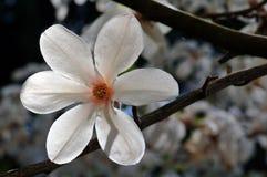 Campbelli van de magnolia royalty-vrije stock afbeeldingen
