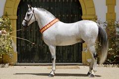 Campeón árabe del semental de Hispano en feria de caballo de Jerez fotografía de archivo libre de regalías