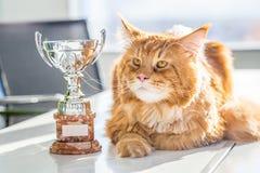 Campeón grande Maine Coon Cat roja con el trofeo, visión horizontal fotografía de archivo