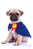 Campeão pequeno bonito do cão de filhote de cachorro do pug Imagem de Stock Royalty Free