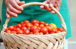 Campesino que sostiene una cesta con los tomates de cereza Foto de archivo
