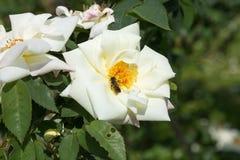 Campesino Rose y abeja Imágenes de archivo libres de regalías