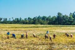 Campesinos que cosechan el arroz Angkor Camboya imágenes de archivo libres de regalías