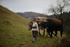 Campesinos que dirigen sus bueyes foto de archivo