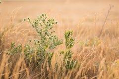 Campestre verde del Eryngium del eryngo del campo Imagenes de archivo