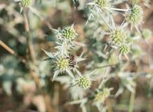 Campestre y abeja del Eryngium Fotografía de archivo