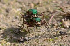 Campestris verts de Cicindela de scarabées de tigre joignant, tête dessus Images libres de droits