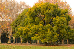 Camphor and Chinars in Sunset Glow Royalty Free Stock Photo