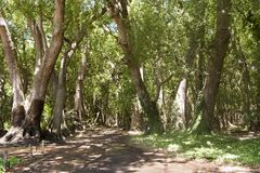 Camphor Forest, South Africa Royalty Free Stock Photos