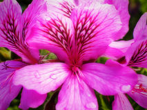 Camphor Geranium with raindrops Stock Image
