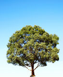 Camphor tree. Isolated blue sky Stock Image