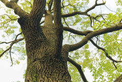 Camphor tree Royalty Free Stock Photography