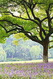 Camphor trees in the summer Stock Images