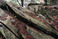Camphora décadent d'arbre-cannelle de camphre images stock