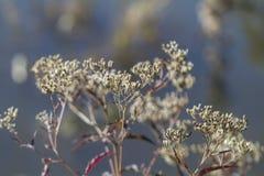 Camphorweed Fuzzy Seedheads Black y blanco imagen de archivo