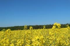 Campi agricoli degli agricoltori coltivare con il seme di ravizzone giallo del canola Fotografia Stock