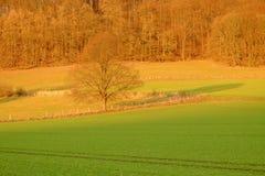 Campi agricoli e un albero sul tramonto in cattivo Pyrmont, Germania Immagine Stock