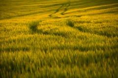 Campi agricoli Grano crescente alla luce di tramonto immagine stock