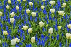 Campi bianchi Keukenhoff Lisse Holland Netherlands dei tulipani fotografie stock