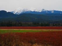 Campi blu della bacca in Columbia Britannica della cresta dell'acero fotografia stock