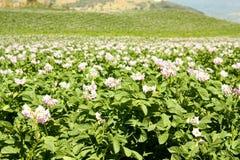 Campi coltivare con le patate in fioritura Immagine Stock