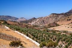 Campi con di olivo in Spagna Immagine Stock Libera da Diritti
