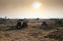 Campi con gli alberi ed i mucchi della mucca Fotografia Stock Libera da Diritti