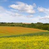 Campi con il seme di ravizzone/papaveri di fioritura, Cotswolds Fotografia Stock Libera da Diritti